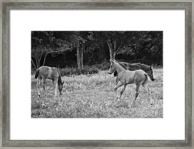 Playing Foals Framed Print by Melissa Ahlers