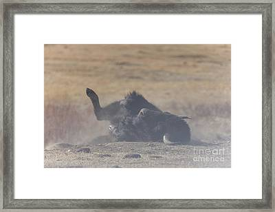 American Bison Playing In The Dirt At Custer State Park South Dakota Framed Print