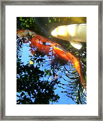 Playing Koi Framed Print by Jeanette Arango