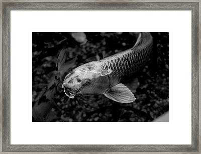 Playing Koi Framed Print