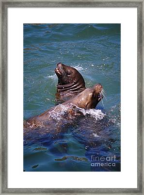 Framed Print featuring the photograph Playing Pair Of Sea Lions by Debra Thompson