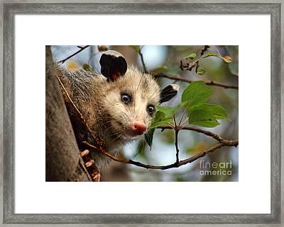 Playing Possum Framed Print by Nikolyn McDonald