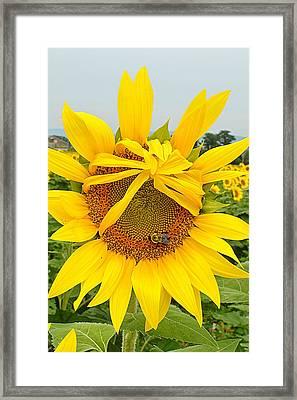 Pleading Sunflower Framed Print
