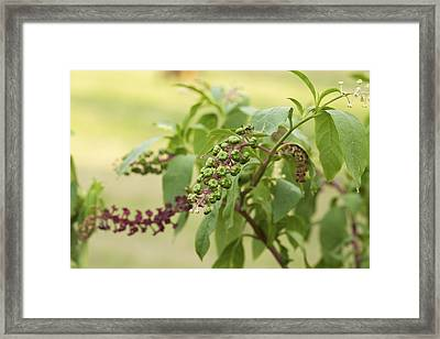 Framed Print featuring the photograph Pleasing To The Eye - Pokeweed Vine Art Print by Jane Eleanor Nicholas