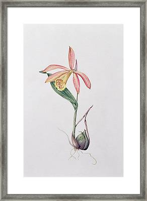 Pleione Zeus Wildstein Framed Print by Mary Kenyon-Slaney