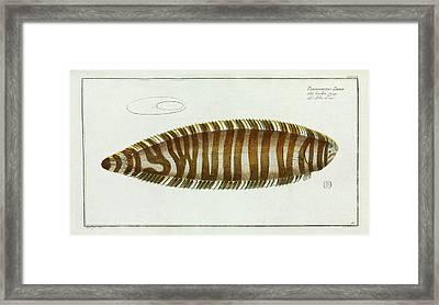 Pleuronectes Zebra (synaptura Zebra) Framed Print by Natural History Museum, London