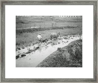Plowing A Rice Paddy Framed Print by Bob Hislop