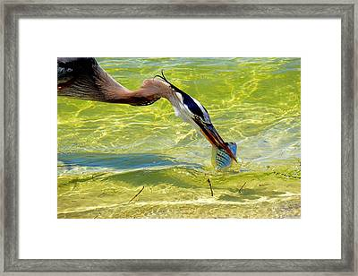 Plucked From The Sea Framed Print