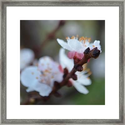 Plum Blossom 1.1 Framed Print by Cheryl Miller