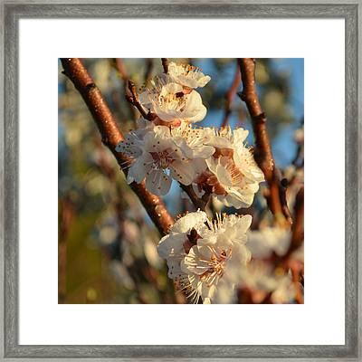 Plum Blossom 1.9 Framed Print by Cheryl Miller