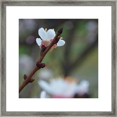 Plum Blossom 1.3 Framed Print by Cheryl Miller