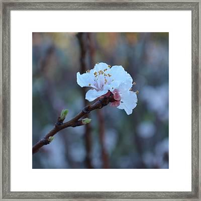 Plum Blossom 1.4 Framed Print by Cheryl Miller