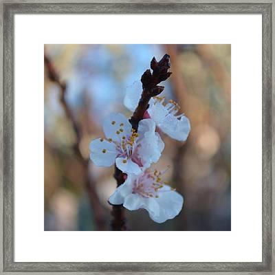 Plum Blossom 1.5 Framed Print by Cheryl Miller