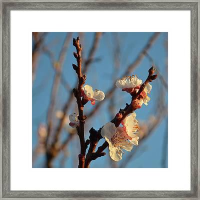 Plum Blossom 1.7 Framed Print by Cheryl Miller