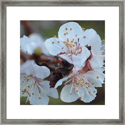 Plum Blossom 1.2 Framed Print by Cheryl Miller