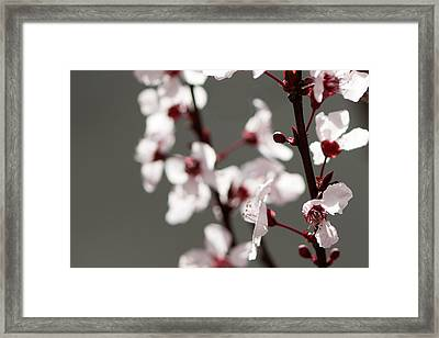 Plum Blossom II Framed Print by Peter Tellone