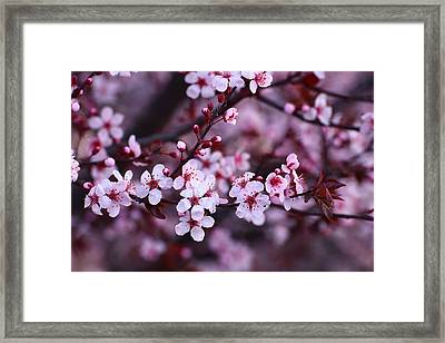Plum Blossoms Framed Print by Lynn Hopwood