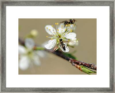 Plum Pollinator  Framed Print by Giffin Photography