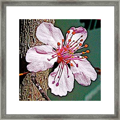Plum Tree Blossoms In Park Sierra Near  Coarsegold-california  Framed Print by Ruth Hager