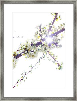 Plum Tree From Heaven Framed Print by Alex Wrenn