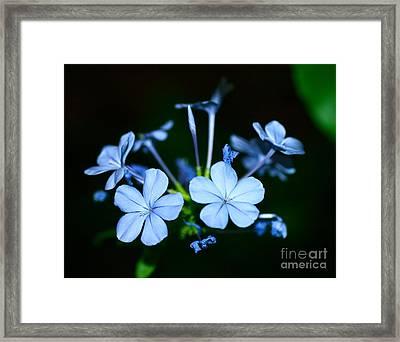Plumbago Blue Framed Print