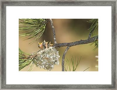 Plumbeous Vireo Begging Arizona Framed Print by Tom Vezo