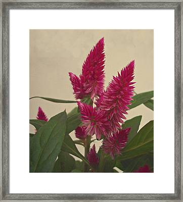 Plumed Cockscomb Flowers Framed Print