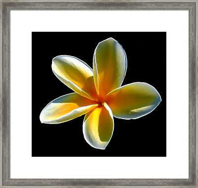 Plumeria Against Black Framed Print