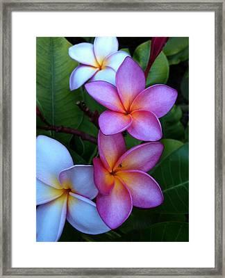 Plumeria Blossoms Framed Print