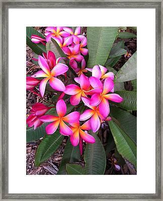 Plumeria Bouquet  Framed Print