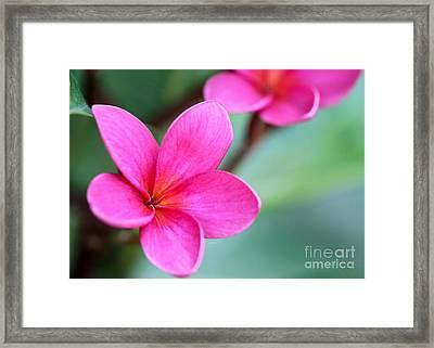 Plumeria In Pink Framed Print by Sabrina L Ryan