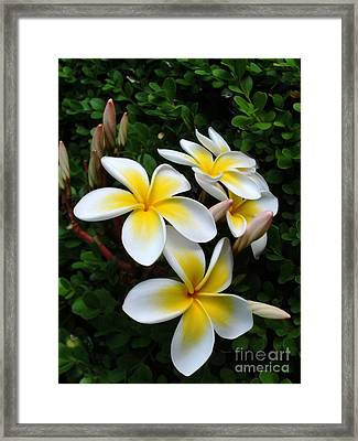 Plumeria In The Sunshine Framed Print by Kaye Menner