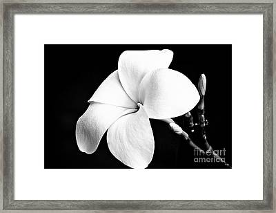 Plumeria Framed Print by Scott Pellegrin