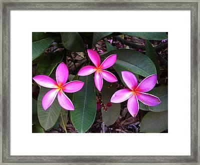 Plumeria Trio Framed Print