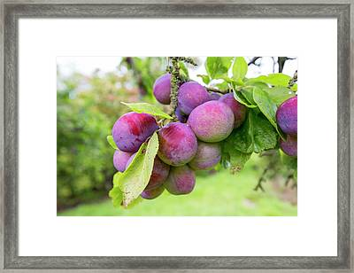 Plums Growing In An Orchard Framed Print by Ashley Cooper