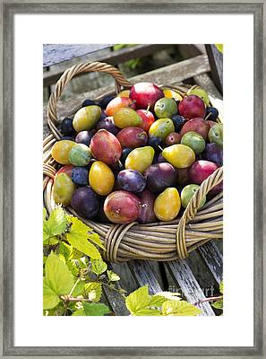 Plums In A Basket Framed Print by Tim Gainey