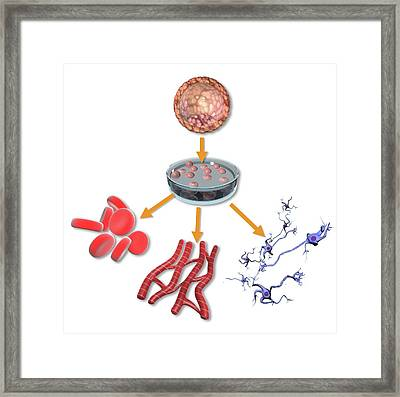 Pluripotent Stem Cells Framed Print by Gunilla Elam