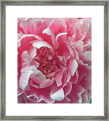 Plush Peony Framed Print