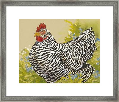 Plymouth Rock Hen 4 Framed Print by Tracie Thompson