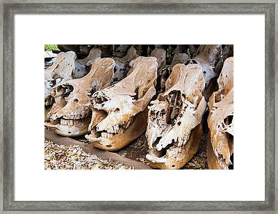 Poached Rhino Skulls Display Framed Print by Peter Chadwick