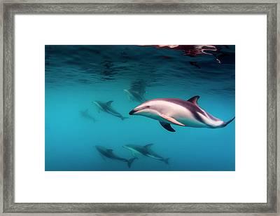 Pod Of Dusky Dolphins (lagenorhynchus Framed Print