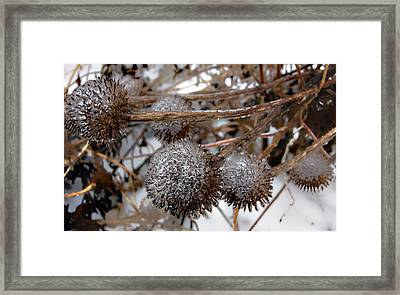 Pods In Ice Framed Print by Ellen Tully