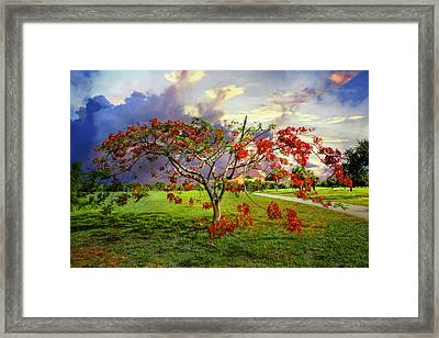 Poinciana Tree Framed Print by Debra and Dave Vanderlaan
