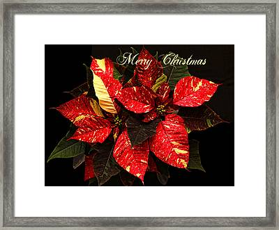 Poinsettia Christmas Framed Print