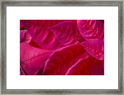 Poinsettia Leaves 1 Framed Print by Rich Franco