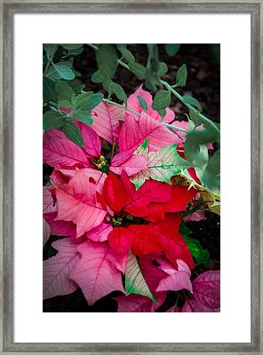 Poinsettias In Maturation Framed Print by Gene Sherrill