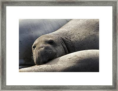 Point Piedras Blancas Elephant Seal 1 Framed Print