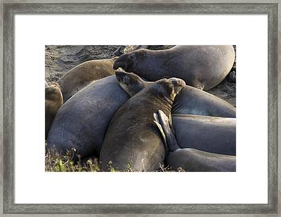 Point Piedras Blancas Elephant Seals 2 Framed Print