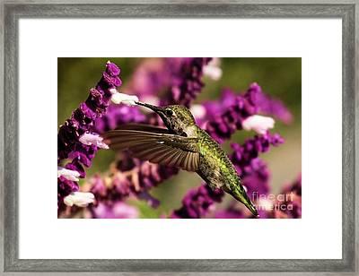 Point Reyes Hummingbird Framed Print