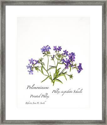 Pointed Phlox Framed Print